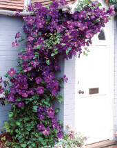 """Clematis """"The President"""", 1 Pflanze im 2 l Topf"""