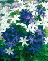 """Clematis """"Mme le Coultre"""", 1 Pflanze im 2 l Topf"""