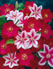 """Clematis """"Nelly Moser"""", 1 Pflanze"""